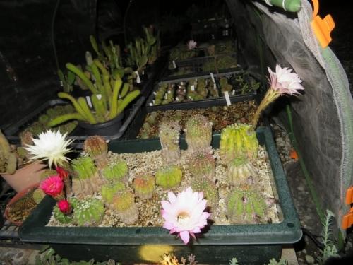 エキノプシス交配種、右端:世界の図、夜咲ピンク花2019.06.08 20:41