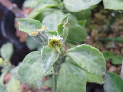 モナデニウム・リゾフォルム(Monadeniumu rhizophorum)ケニア原産~開花中♪2019.06.12