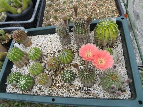 エキノプシス交配種、淡赤花(一日花)、2番花開花、一番花より花色が薄い感じです。2019.06.20