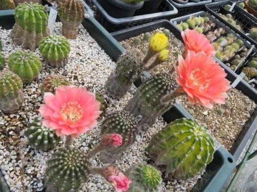 エキノプシス交配種、一日花淡赤花再び開花。黄色花しっかり開きません。2019.06.21