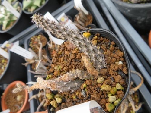 プテロカクタス・黒竜、昨年の枯れそうな古枝と今年の元気な新枝が残っています♪2019.06.24