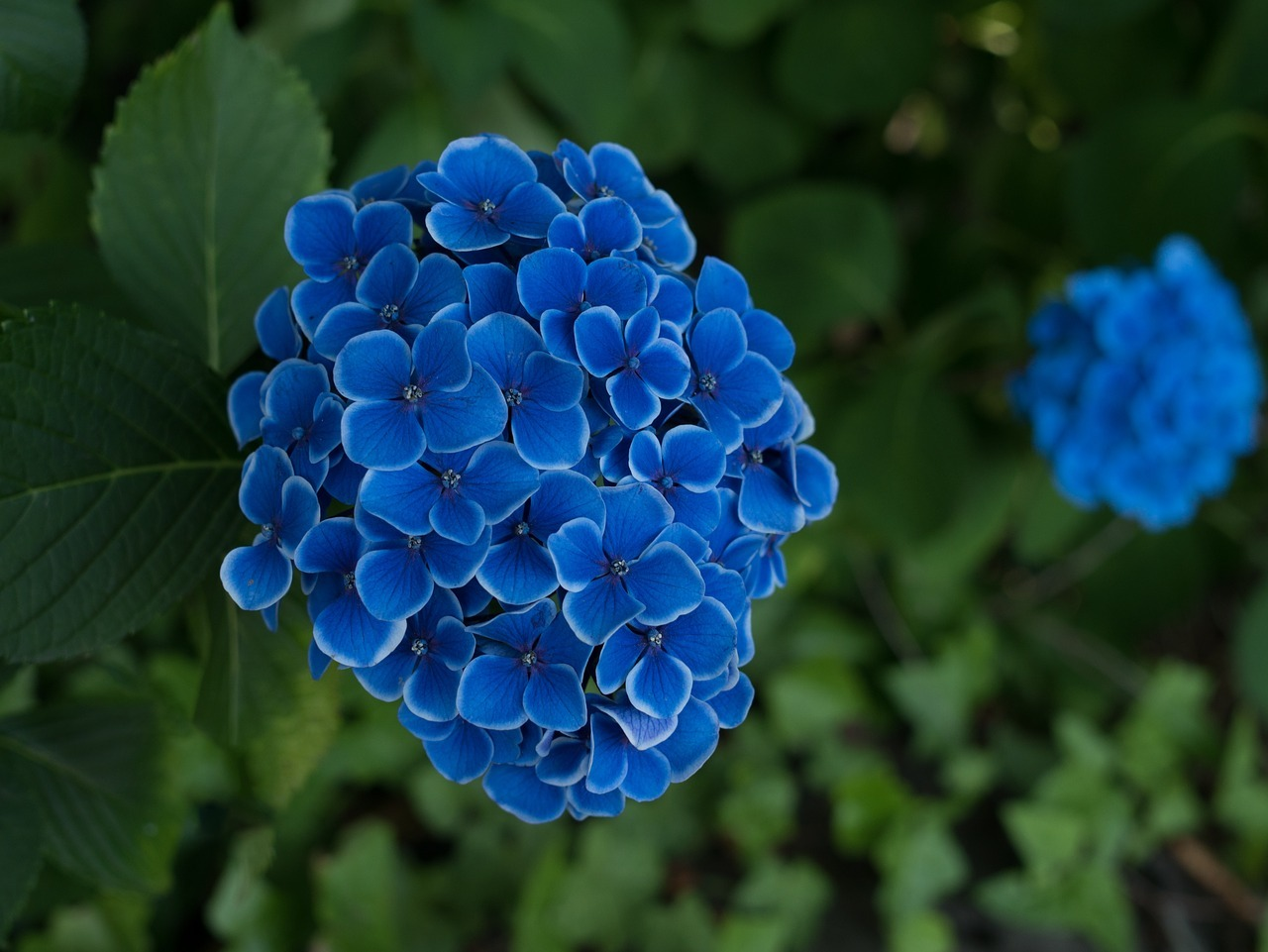 hydrangea-2425728_1280[1]