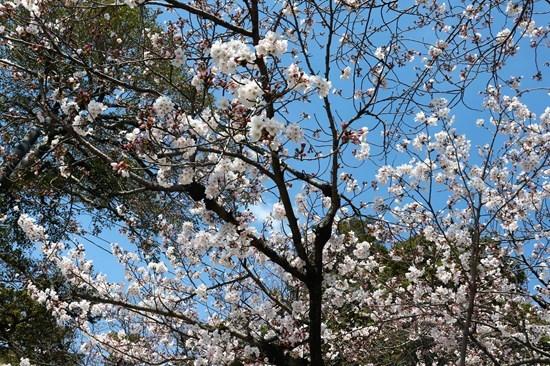 ⑦満開の桜