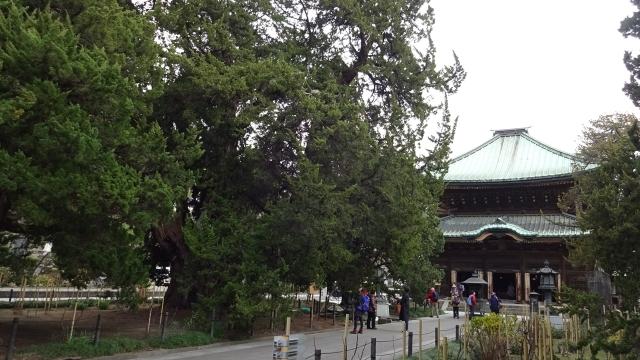 6柏槇と仏殿