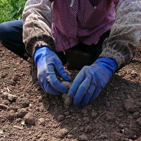 生姜の植付4