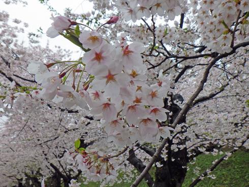 弘前城桜まつり2019-4