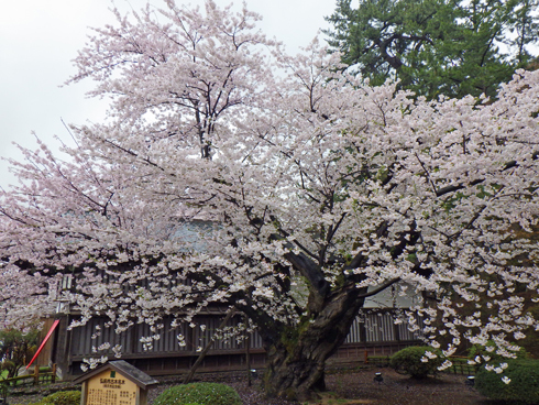 弘前城桜まつり2019-9