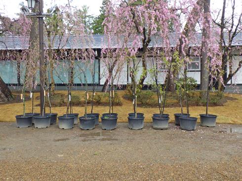 弘前城桜まつり2019-10