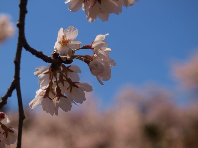 s花見山3