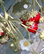 イチゴの花♪