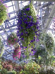 紫のハンギング