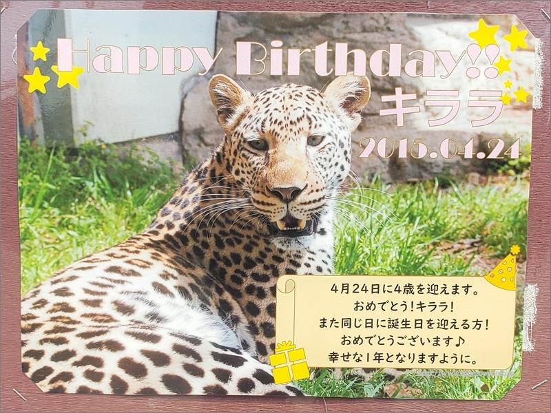 Happy Birthday!! キララ 2015.04.24 ( とべ動物園 ヒョウ「キララ」 )