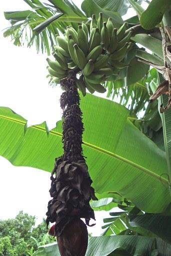 島バナナe DSC00165