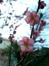 おがのおーがにっくらいふ(★´ひ`★)ゞ-梅の花