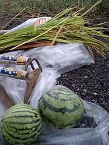 おがのおーがにっくらいふ(★´ひ`★)ゞ-070909 稲と収穫物