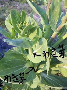 おがのおーがにっくらいふ(★´ひ`★)ゞ-収穫の説明2