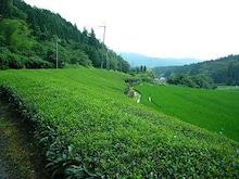 おがのおーがにっくらいふ-茶畑