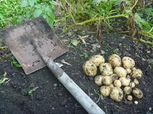 おがのおーがにっくらいふ(★´ひ`★)ゞ-12.06.10 O-GArden第2ラボのジャガイモの記録  1