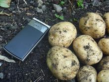 おがのおーがにっくらいふ(★´ひ`★)ゞ-12.06.10 O-GArden第2ラボのジャガイモの記録  2