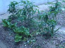おがのおーがにっくらいふ(★´ひ`★)ゞ-3 12.06.15 伏見とうがらしの収穫