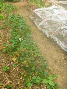 石垣イチゴの試み (4)