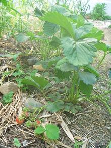 石垣イチゴの試み (5)