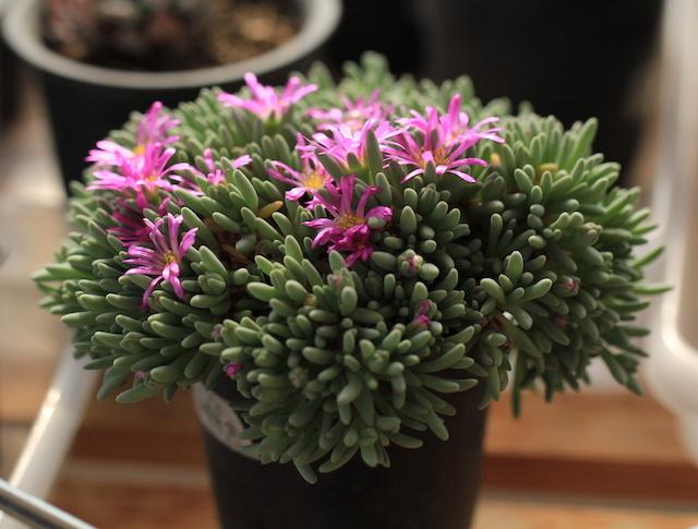 スパルマントイデスのお花