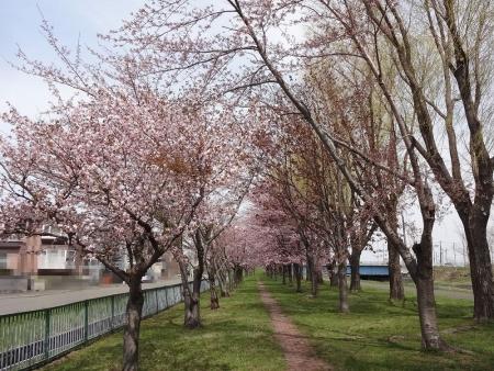 創成川緑地の桜