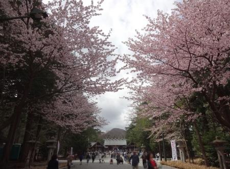参道は桜が満開です