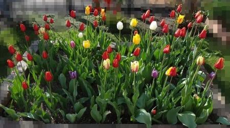 5.13 すべての色のチューリップが開花しました。