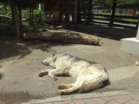 10:21 シンリンオオカミ