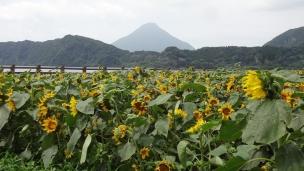 9:49 ミニひまわりと開聞岳と池田湖