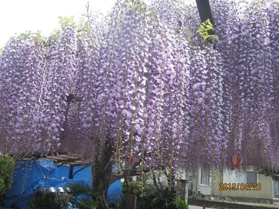 吉田の林泉寺の藤