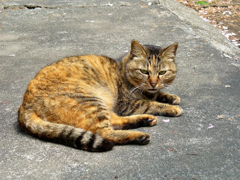 境内で寝転がってるサビ柄猫1