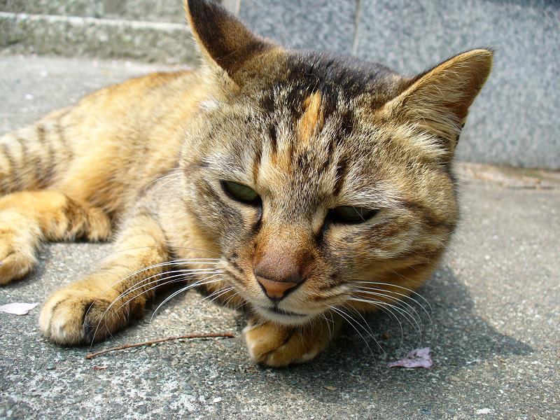 境内で寝転がってるサビ柄猫2