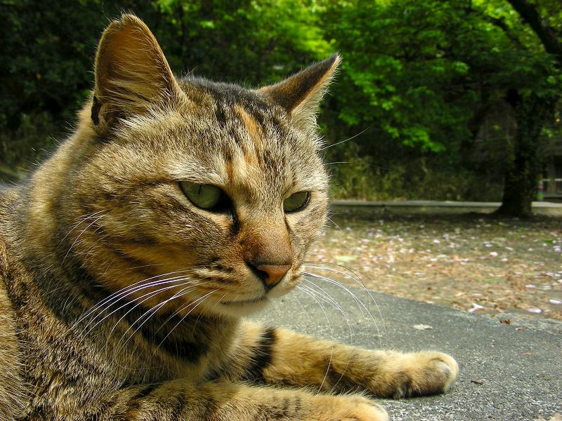 境内で寝転がってるサビ柄猫3