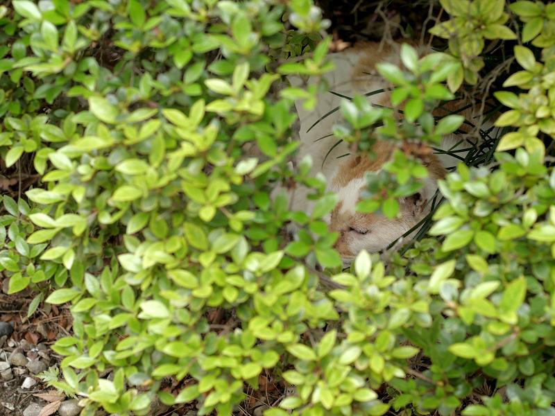 植え込みの中野白茶猫1