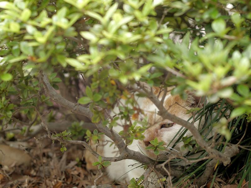 植え込みの中野白茶猫2