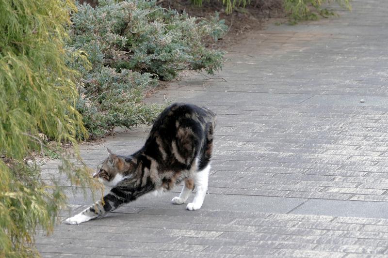 前伸びするアメショー風猫