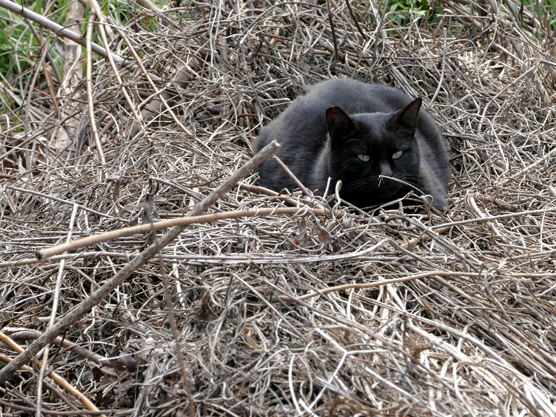空地で寝ている黒系の猫4