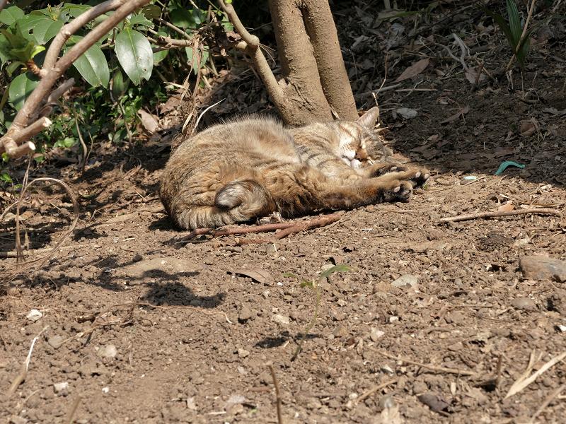 土の上で悶絶のキジトラ猫1