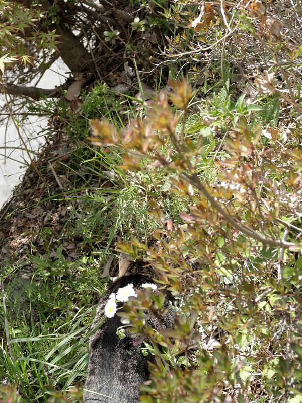 草むらのキジトラ猫2
