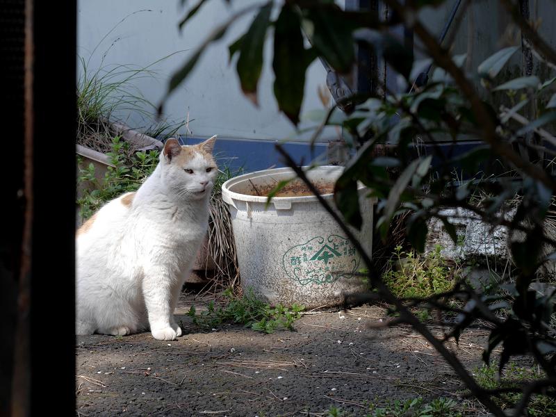 林の白茶猫2