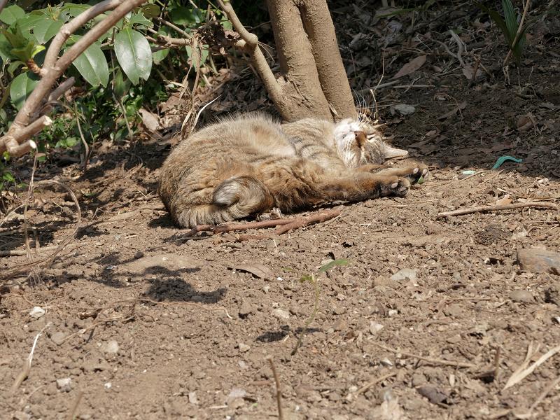 土の上で悶絶のキジトラ猫3