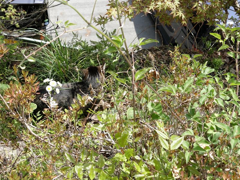 草むらのキジトラ猫3