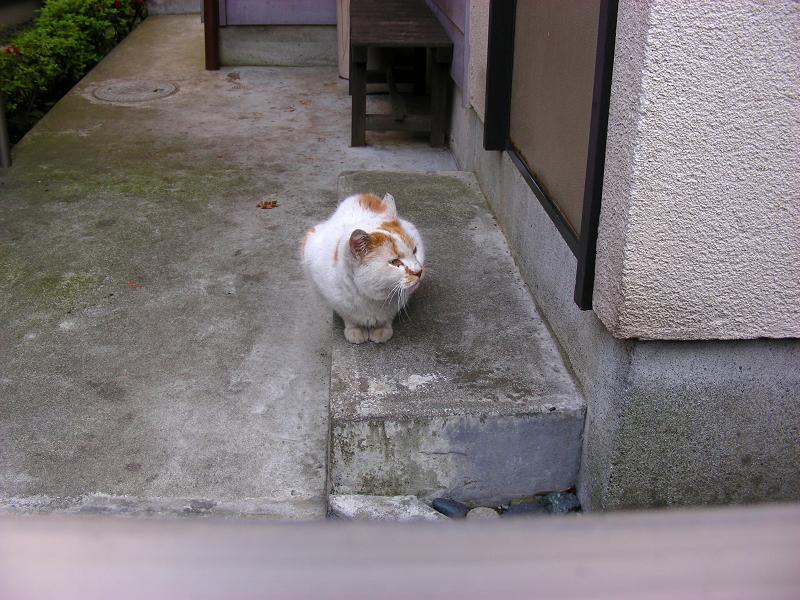 勝手口の白茶猫