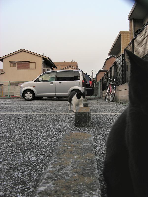 駐車場の黒白猫1