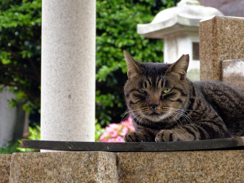 井戸の蓋の上のキジトラ猫1