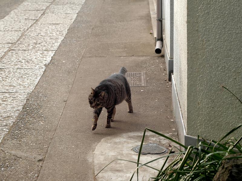 歩いてくるキジトラ猫1
