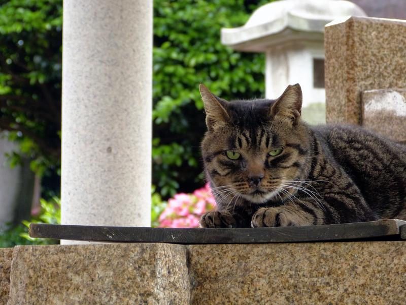 井戸の蓋の上のキジトラ猫2
